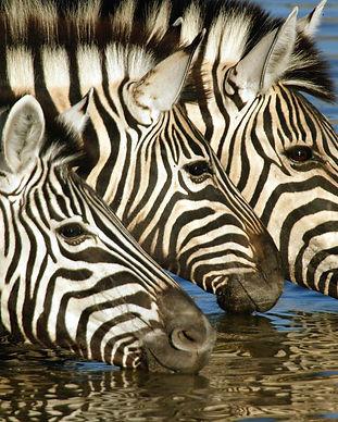 2008_NA_A_Zebras.jpg