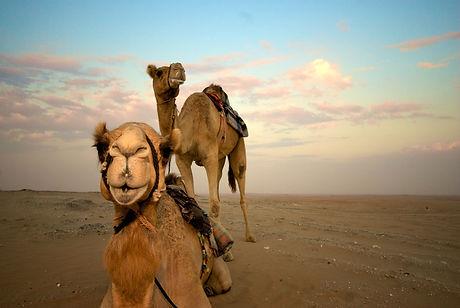 2011_UAE_O_Camels.jpg