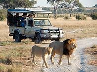 STOHLER TOURS_VOYAGES_VACANCES_AFRIQUE__BOTSWANA_AVENTURE_SAFARIS_CAMPING TOUR_ANIMAUX SAUVAGE_LION