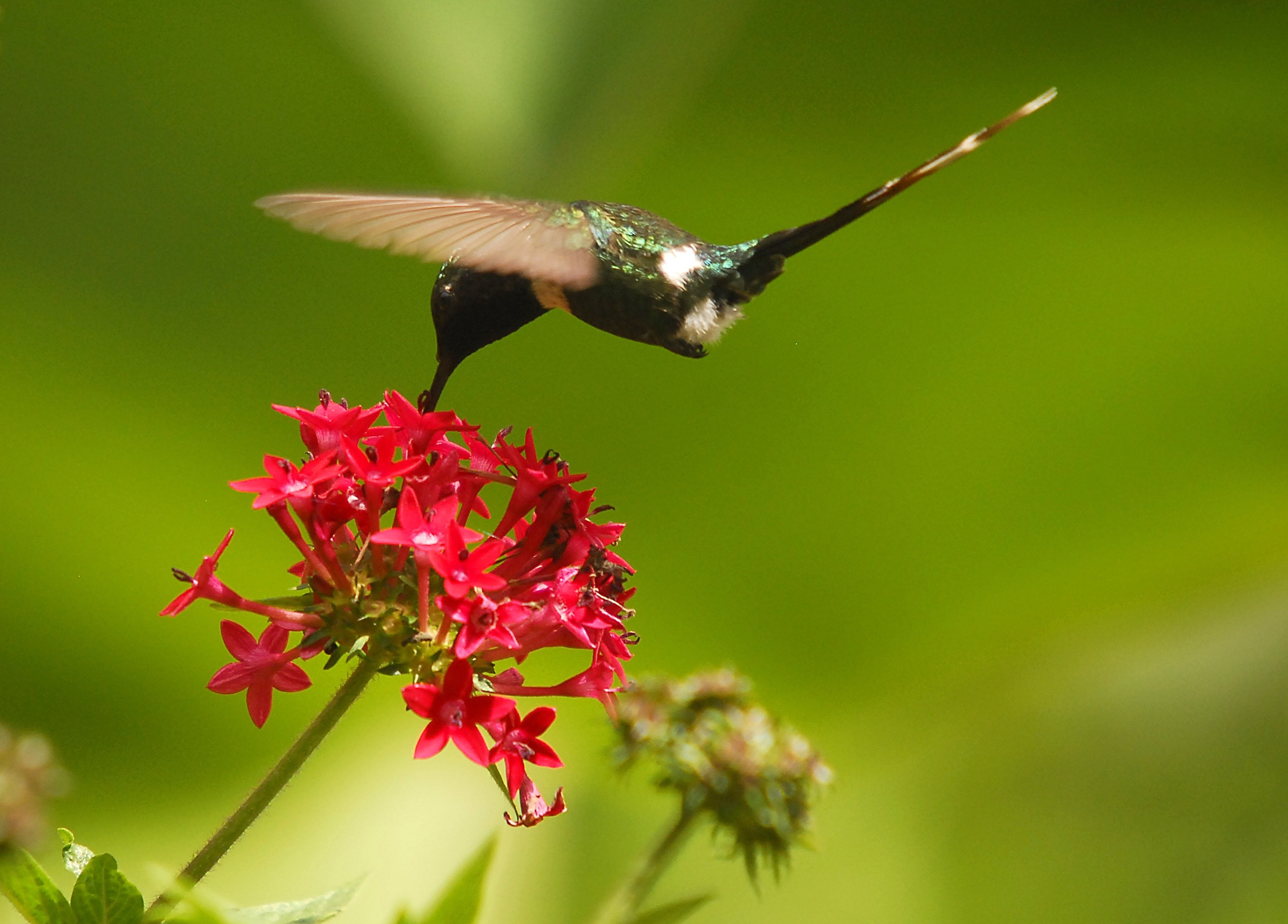 Hummingbird and penta