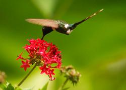 Hummingbird and penta