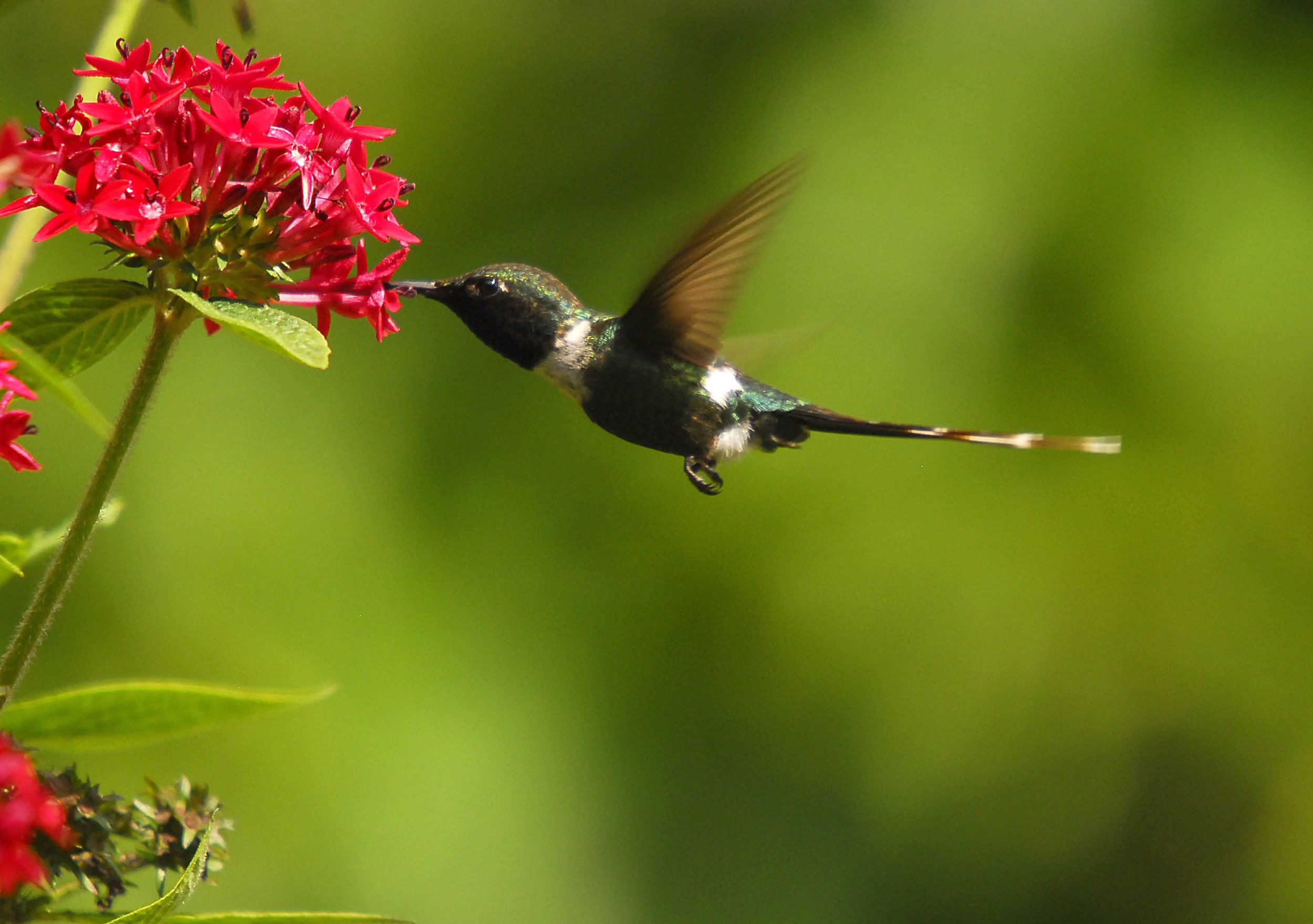 Hummingbird and pentas