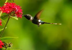 Hummingbird and pentas