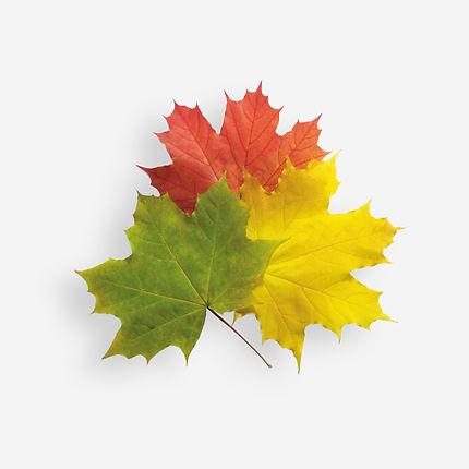 Осенние листья клена