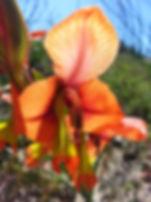 Gladiolus alatus.jpg