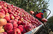 apple harvest.jpg