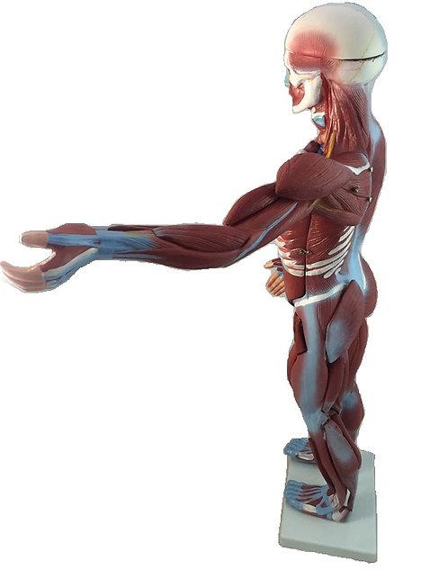 Cuerpo Humano Muscular 80cms y 27 piezas