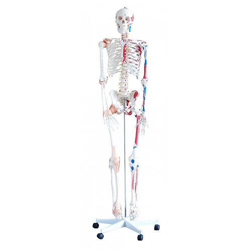 Esqueleto Humano Vasos Sanguíneos y Músculos 180cm