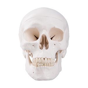 Cráneo Clásico Ciedutec Lab
