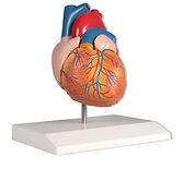 Modelos Anatómicos de Hígado, Páncreas, Cerebro y Corazón de Ciedutec Lab