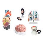 Modelos Anatómicos órganos de Ciedutec Lab