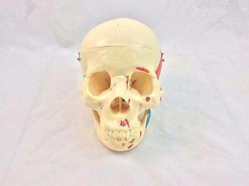 Cráneo Músculos Pintados