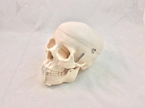 Cráneo Humano Adulto Tamaño Natural