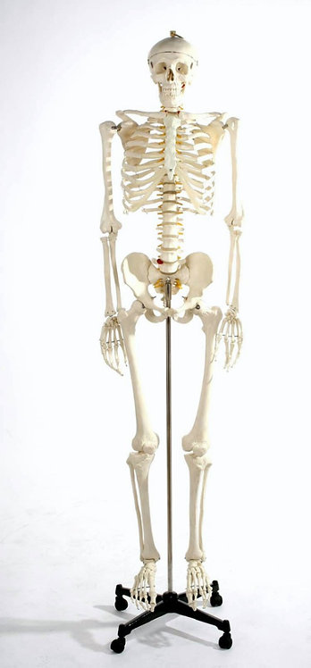 Esqueleto Humano 180cm aprox