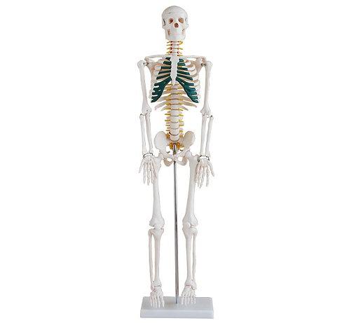 Esqueleto de Mesa con Nervios Espinales 85cm