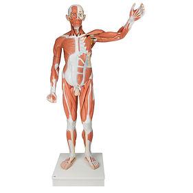 Modelo Muscular Masculino Ciedutec Lab