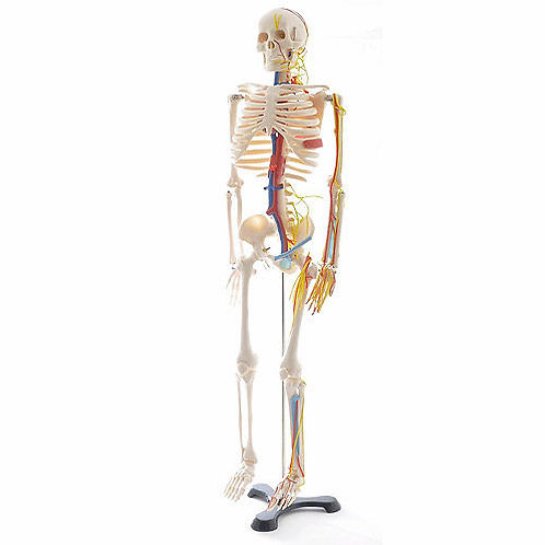 Esqueleto De Mesa Con Nervios y Vasos Sanguíneos 45cms.