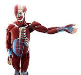 Cuerpo Humano Muscular, Sistema Digestivo y Sistema Urogenital Femenino y Maculino de Ciedutec Lab