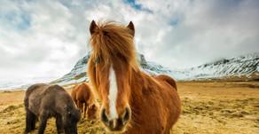 Horseback Riding Tours: Icelandic Horses