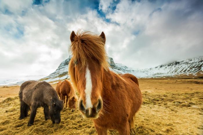 Icelandic horses in Icelandic mountains
