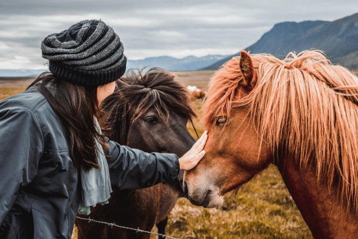A tourist with Icelandic horses befre the riding tour