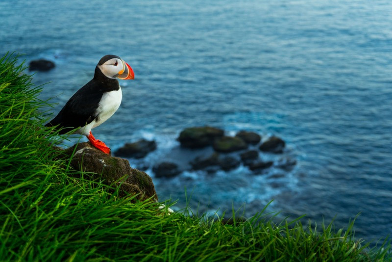 You can observe puffins starting in April in Iceland