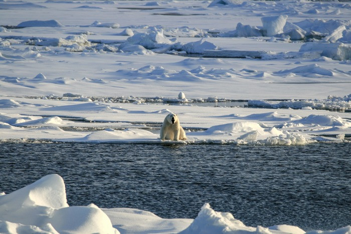 Polar bears are not native to Iceland and only come here on icebergs