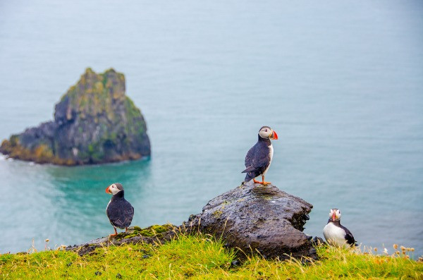 Icelandic puffins colony in Iceland