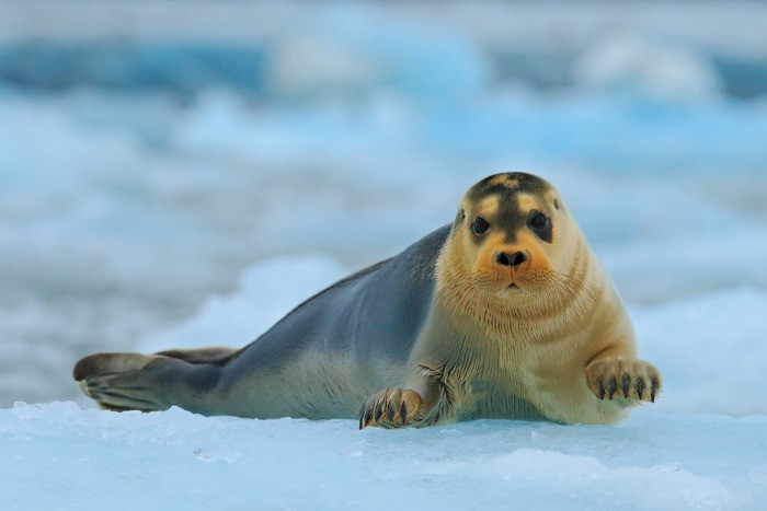 Grey seals can be sean on the shores of Iceland, are native animals to Iceland