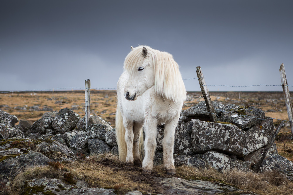 The Icelandic horse is the only horse breed in the island