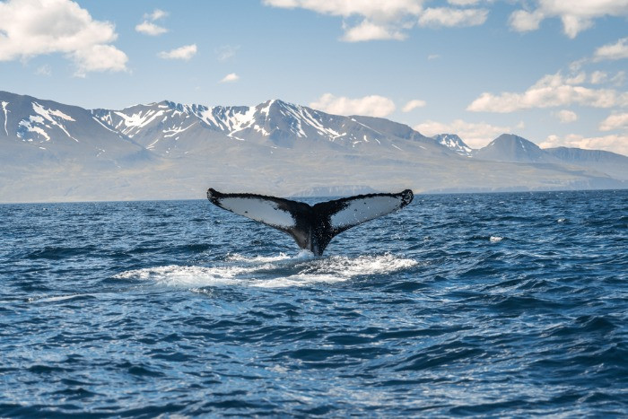 The photo of a whale made on a tour in the village of Husavik
