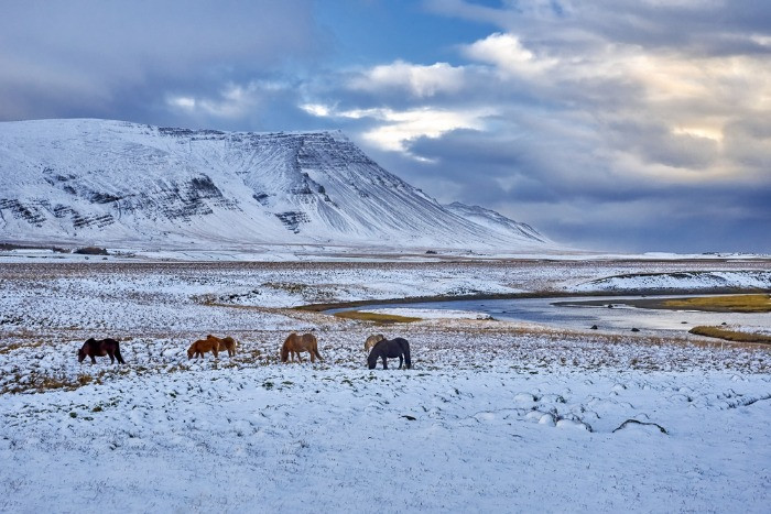 The Icelandic horses with the mountains covered in snow at the background