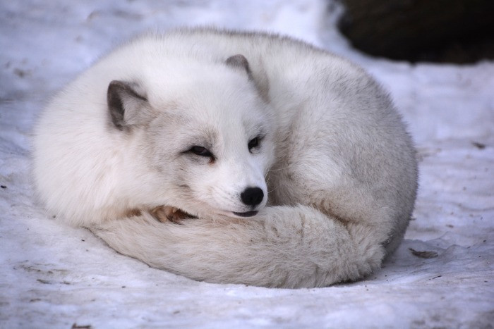 Arctic fox is one of the most typical animals living in Iceland