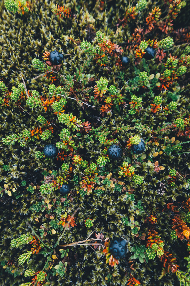 Join berries picking if you want to enjoy the greates autumn acitivity in Iceland