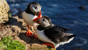 All You Should Know About the Icelandic Puffin