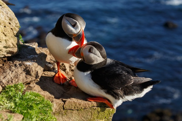 The Icelandic Puffins couple in Latrabjarg cliffs in Iceland