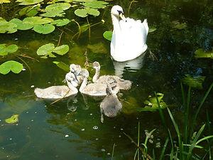 baby swans.jpg