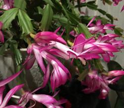 Christmas Cactus シャコバサボテン