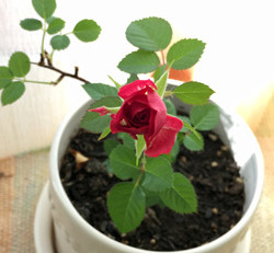 Mini Rose ミニバラ
