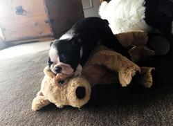 Sleepy Boston Terrier Puppy