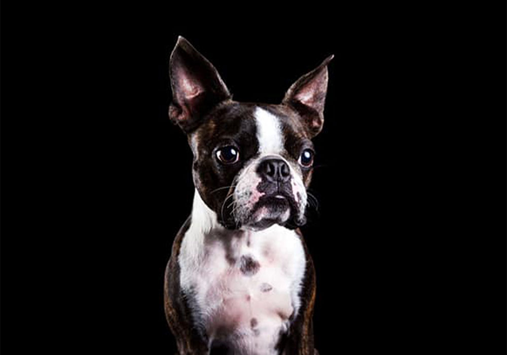 Boston Terrier Boy