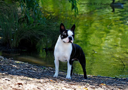 Zareba Boston Terriers