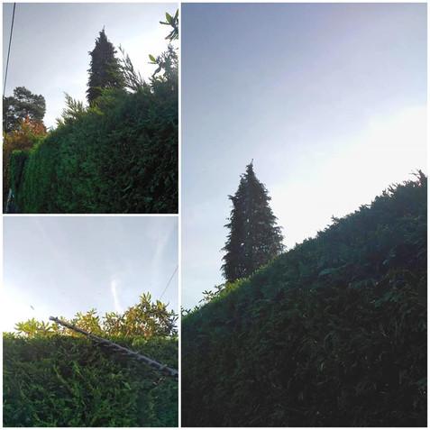 Conifer Hedge Trimmed