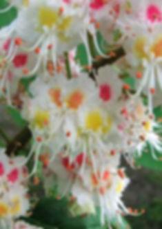 white-chestnut-fleur-de-bach.jpg