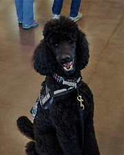 A black standard poodle sits with his service dog vest on in a public space. His head is  titled slightly to the side as he stares into the camera with his mouth open.