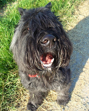 Jezabelle a Bouvier Des Flandres looking directly at the camera in a field