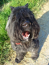 A brindle Bouvier Des Flandres sits on a paved path next to a field of wheat panting while starting at the camera.