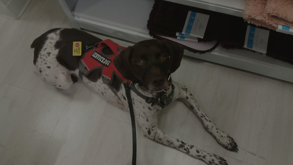 German Shorthaired Pointer Service Dog l