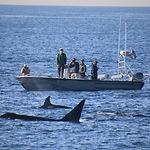 whaler orca.jpg