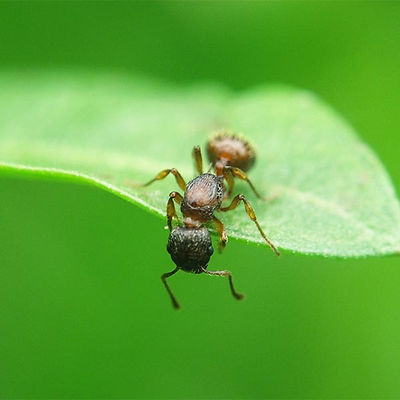 How to get rid of ants - Pest Control Ants